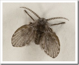 sewerfly