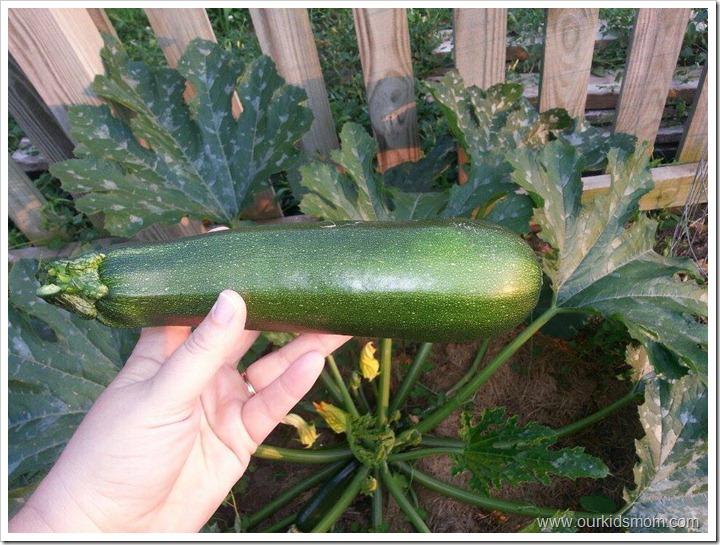 zucchinipicked