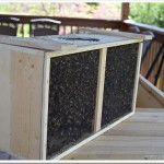 Installing Bees in a Top Bar Hive | #Beekeeping